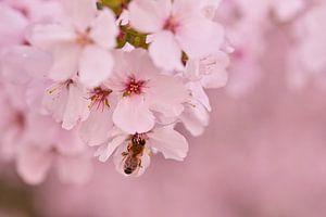 Bij in roze lente bloesem met een zachtroze achtergrond van J..M de Jong-Jansen