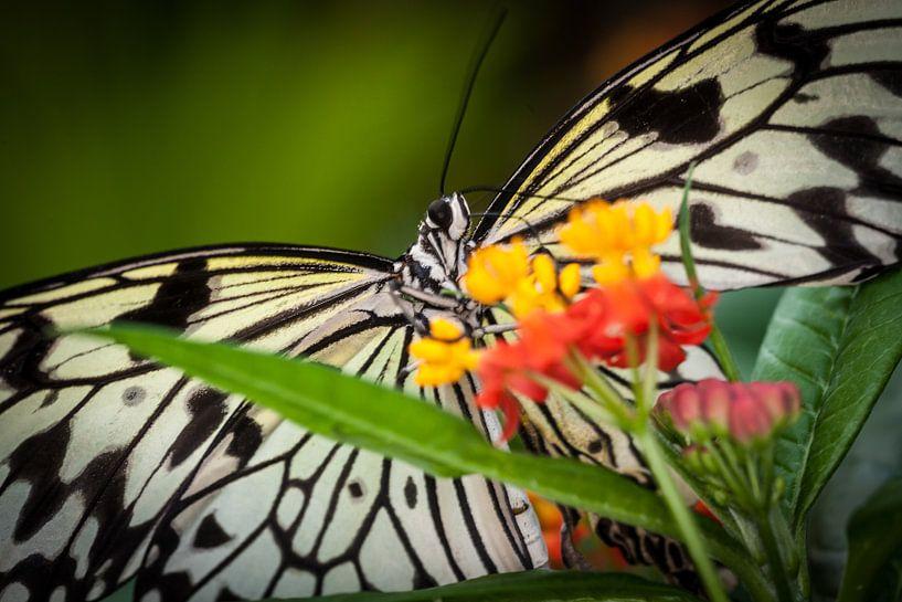 Vlinder op bloem. Wout Kok One2expose van Wout Kok