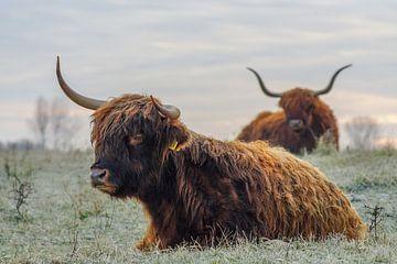 Schotse hooglanders van Dirk van Egmond