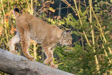 Lynx loopt over boomstam van