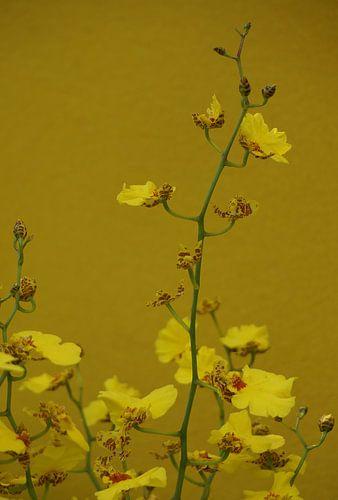 Gele orchideeën op een oker achtergrond
