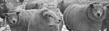 groep schapen panorama von Matthijs Temminck
