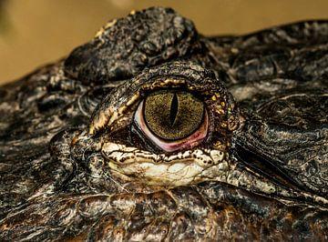 Mississippi Alligator van Rob Smit