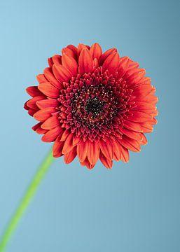 Gerbera bloem van Van Keppel Studios
