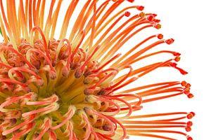 Leucospermum cordifolium – Rood Speldenkussen van