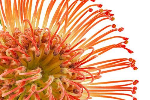 Leucospermum cordifolium – Rood Speldenkussen van Tanja van Beuningen