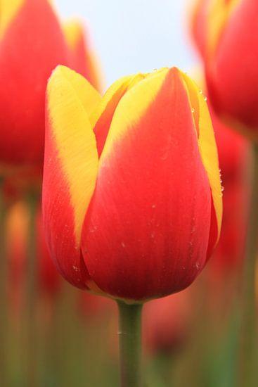 Perfect Tulp van Marcel van Rijn