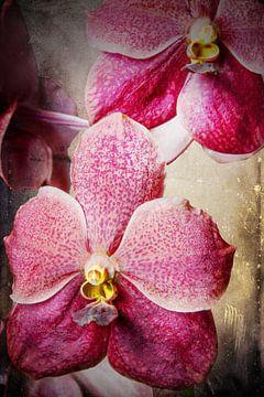 Vanda orchidee 3036A von Rudy Umans