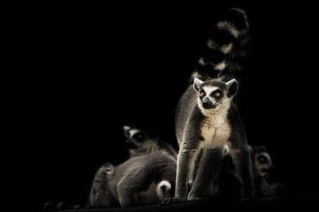 Vigilant et prêt à protéger le lémurien félin de la famille sur un fond sombre avec d'autres lémurie sur Michael Semenov