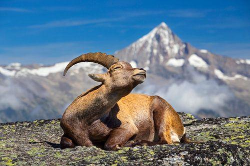Steenbok geniet van de zon van Menno Boermans