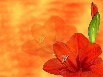Rote Amaryllis von Martina Fornal