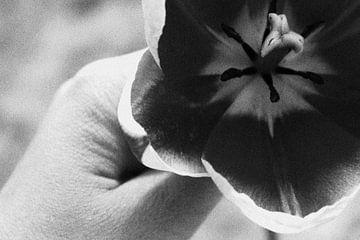 vasthoudende tulp von iris doff