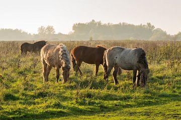 Islandpferde auf der Weide in der Mittagssonne von Ruud Morijn