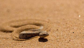 Woestijnadder in de Namibwoestijn van