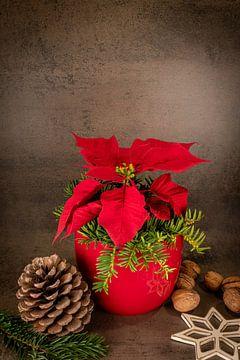 Weihnachtsstern im roten Topf steht vor grauem Hintergrund von Hans-Jürgen Janda
