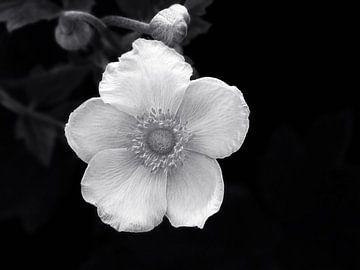 White Beauty (Witte Anemoon) von Caroline Lichthart