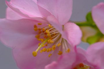 Bloesem. Hanami. Cherry Blossom.  004. van George Ino
