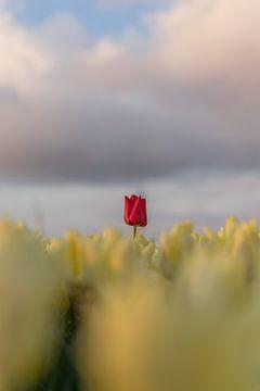 Gelbe Tulpe mit einer roten! von Rossum-Fotografie