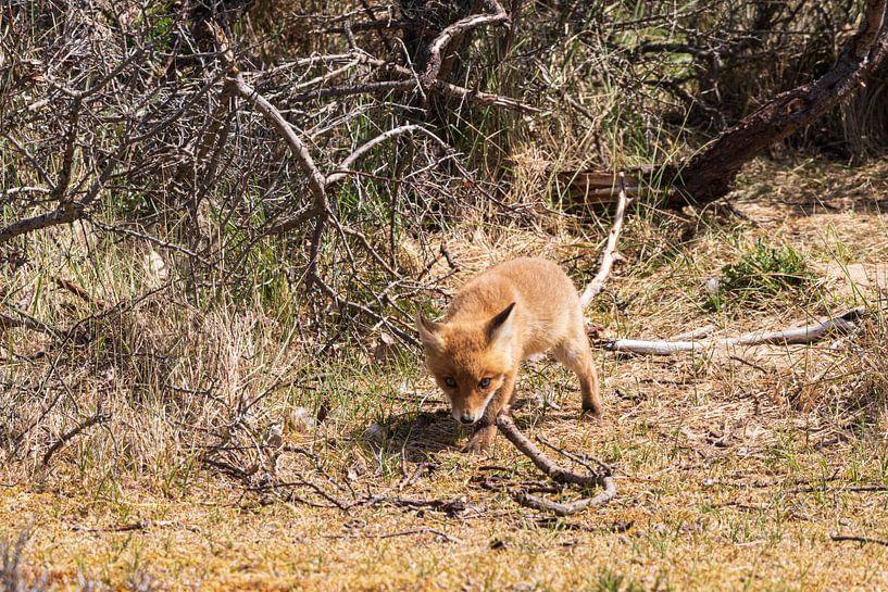 Junger Fuchs entdeckt die Welt von Merijn Loch