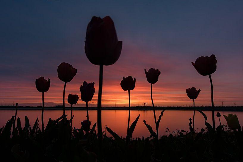 Tulpen tijdens zonsondergang. schaduw tulp van Robin van Maanen