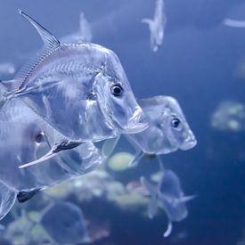 Transparante vissen van Mark Bolijn