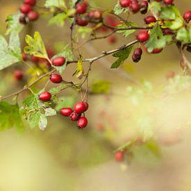 Meidoorn met vruchten van Marijke van Eijkeren