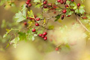 Meidoorn met vruchten van