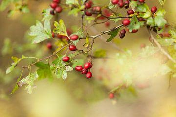 Meidoorn met vruchten