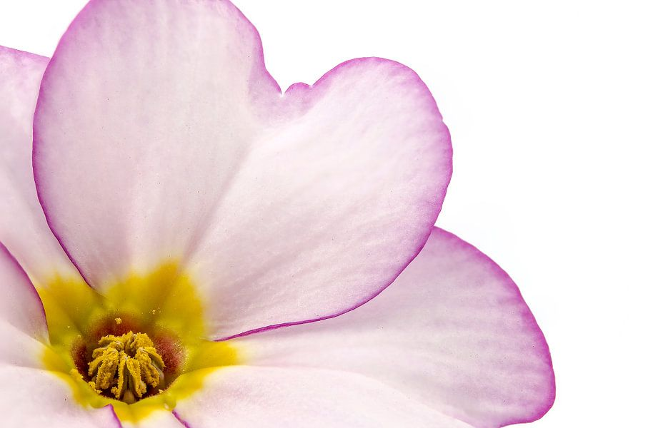 Sleutelbloem/Primula