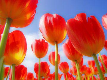 Rode tulpen sur