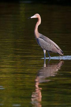 Roodhalsreiger staand in het water, Florida, Verenigde Staten van