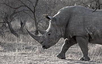 Nashörner in Südafrika von Discover Dutch Nature