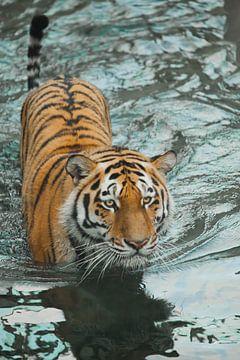 kriecht auf dem Wasser, ein vorsichtiger Blick. junger schöner Tiger mit ausdrucksstarken Augen läuf von Michael Semenov