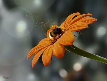 Een hommel op een Mexicaanse zonnebloem (Tithonia diversifolia) van Flower and Art