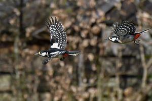Specht / Woodpecker van Henk de Boer