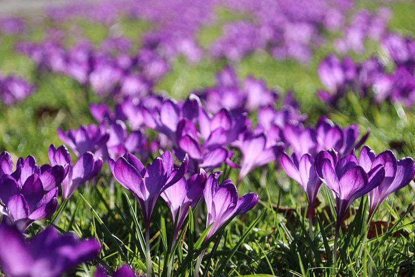Veld met paarse krokussen in het gras van André Muller