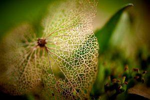 Details van een Hortensia