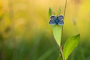 Heideblauwtje van Aukje Ploeg