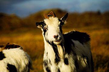 Tapfere Ziege auf Schier von Foto Graaf Eric
