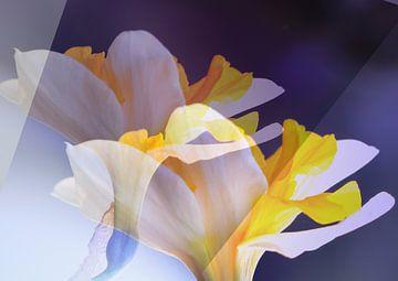 Narcisse sur Rosi Lorz