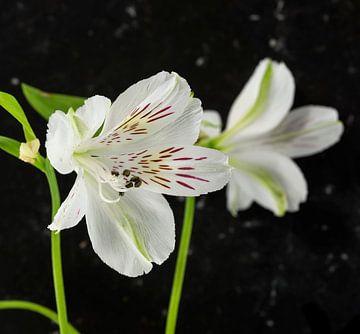 witte alstroemeria  bloemen  von Compuinfoto .