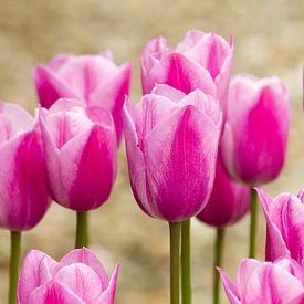Roze tulpen in de tuin van Marianne Ottemann - OTTI