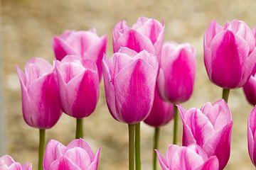 Des tulipes roses dans le jardin sur Marianne Ottemann - OTTI