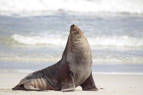 Australische zeeleeuw (Neophoca cinerea)