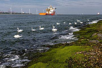 Zwanen op zee Hoek van Holland van Carin IJpelaar