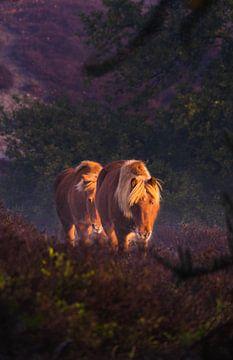 Wilde paarden op de Veluwe van