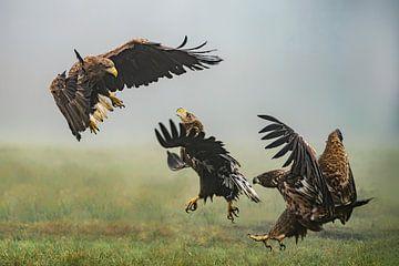 Zwei kämpfende Seeadler. von Albert Beukhof