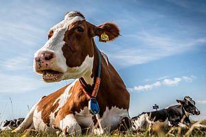 koeien aan het chillen