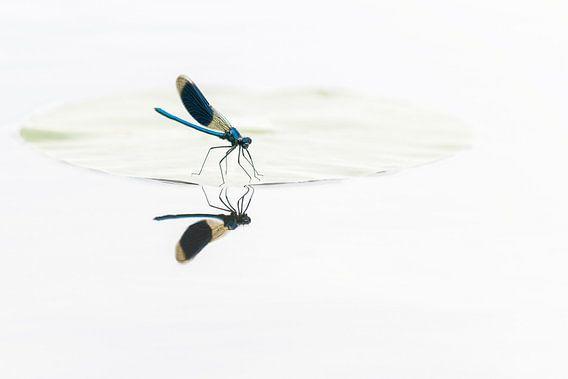 Weidebeekjuffer met spiegeling