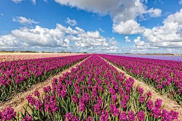 bloembollenveld met hyacinten van eric van der eijk